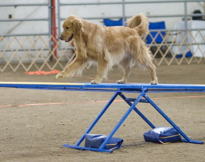 Golden_Retriever_agility_teeter