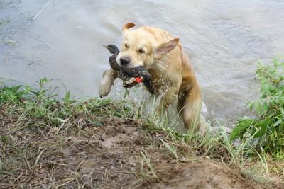 Если вам необходим спутник на охоте, в разделе «охотничья собака», вы узнаете, как подготовить, где  и на каких состязаниях выставить свою собаку, чтобы получить диплом по подаче битой дичи.