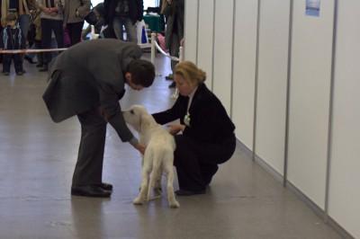 Наконец мой выход. Первая выставка и первая победа.   На Республиканской выставке собак всех пород 19 ноября 2011 года под экспертизой Сергея Слукина, получил титул лучший беби породы.