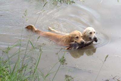 На натаске по подаче водоплавающей дичи, у этой пары была одна задача на двоих, с которой они успешно справились.