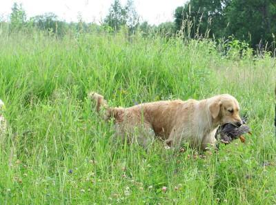 Июнь 2010 года,  пос. Уварово, Московская область. Натаска по подаче дичи продолжается. Уже умею искать на суше!