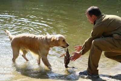 Сентябрь 2009 года, Фрязево. Обучение подаче битой дичи. Не сразу получилось донести добычу…
