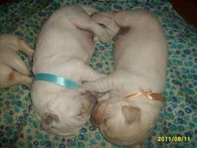младенчества, эта пара щенков неразлучны, даже во сне…..(