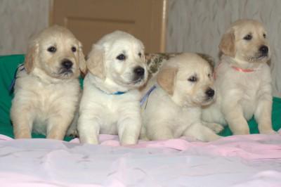 2 апреля 2012 года на свет появились очаровательные малыши породы ЗОЛОТИСТЫЙ РЕТРИВЕР.
