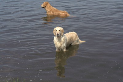 Вот уже своим примером приобщил к занятиям по спасению подружку Лики. Внимательно следят за обстановкой в водоеме.