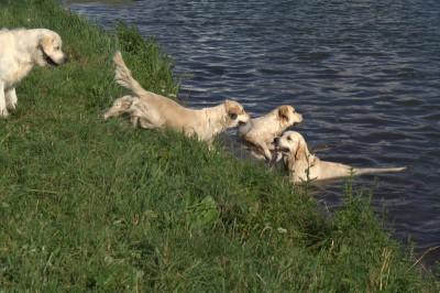 А как счастливы были наши ретриверы, не только побегать по лужайке, а еще и вместе поплавать.