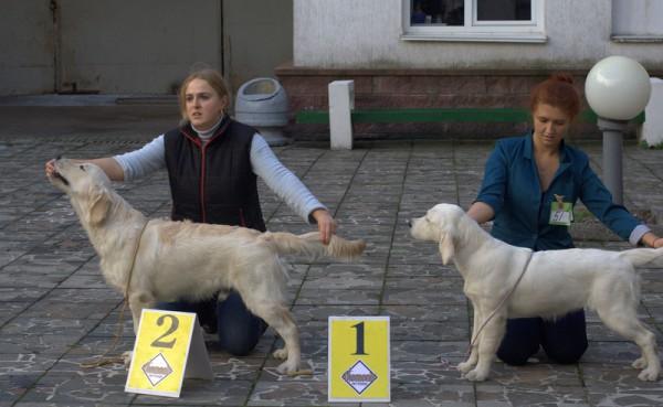 Сравнение на лучшего беби породы (слева направо): Золотой Охотник Бонд 007 - 2-е место. Анжелонато Лоллипоп - 1-е место, лучший беби породы