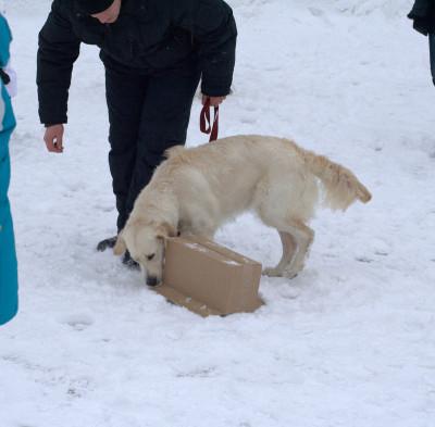 Куда бы ее не спрятали, дав команду «ищи», мы заставляем собаку принимать решение, где искать и самое главное как достать.