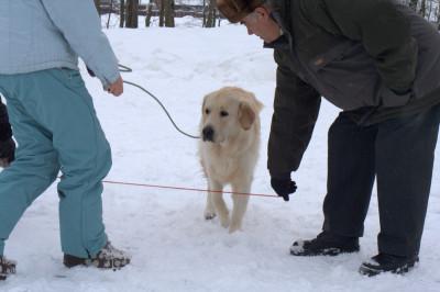 Поэтому мы попросили наших помощников опустить натянутый поводок на уровень глубины груди собаки.