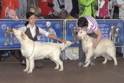 Слева направо: RIERA CERTRERO SALVADOR (Россия)- Большая перспектива 1 место, лучший щенок кобель Голдендейзи Некст Тайм (Россия, Санкт-Петербург)- Большая перспектива