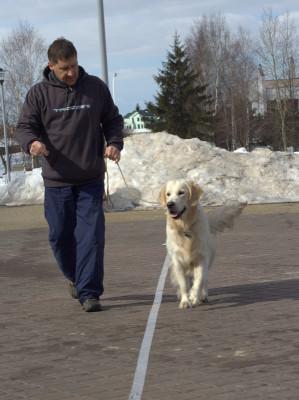 Как только ваша собака поймет, что нужно делать она  покажет красивые движения передних конечностей, двигаясь на провисшем поводке.