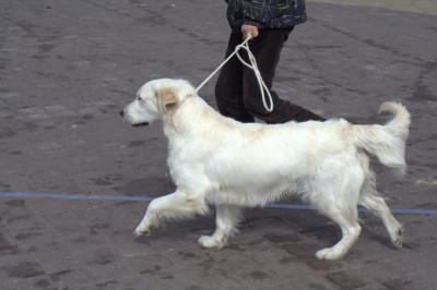 Корректируйте собаку механически, короткими рывками поводка, после чего приотпустите его.