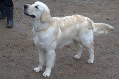 ANGELONATO POSEIDON CATALEYA GOLD- Большая перспектива, лучший щенок кобель