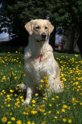 Темпераментная выставочная собака и настоящий преданный друг.