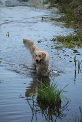 Золотой Охотник Ариадна Астерион- настоящая рабочая собака